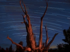 Bristlecone Pine and Star Trails