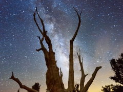 Bristlecone Pine and the Milky Way