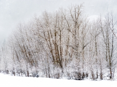 Snowy, Black Oaks