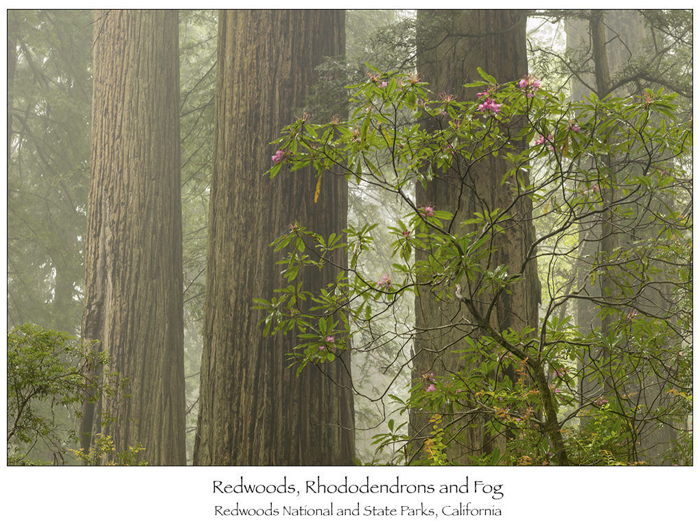 150601_Redwoods_052WEB1000-A
